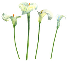 Calla Lilies Watercolor Hand-p...