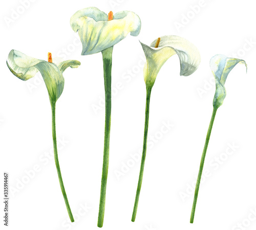Obraz na plátně Calla lilies watercolor hand-painted botanical illustration isolated on white