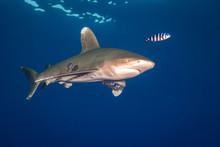 Ocean White Tip Shark At  Red ...