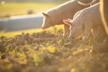 Pigs Eating On A Meadow In An ...