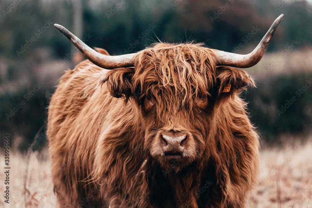 Fototapeta Highland cow doing his thing