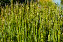 Horsetail Reeds, Also Known As Snake Grass Or Dutch Rush.