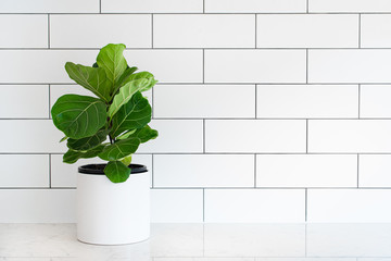 Fiddle leaf fig, Ficus lyrata, pot plant with white subway tiles in background and copy space