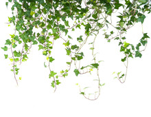 Ivy Leaves Isolated On A White...