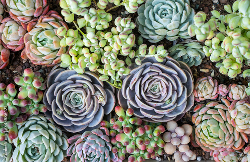 Miniature succulent plants in a planter Fototapeta