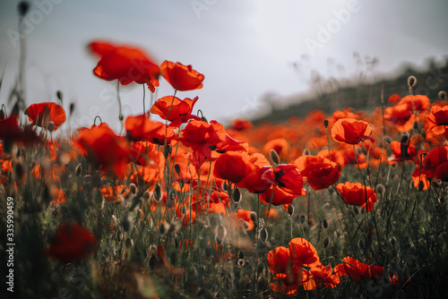field of red poppies on sunset time. Blooming red poppies on the field - 335990459