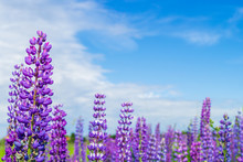 Purple Lupine Flower Closeup O...