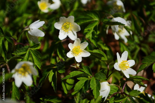 Anemone nemerosa, macro of a beautiful spring forest flower Canvas Print