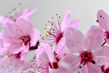 Panel Szklany Podświetlane Drzewa beautiful fresh spring pink cherry tree flowers