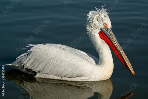 Beautiful Dalmatian Pelican bird swimming in lake with incredible blue water Fototapeta