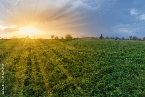 Sunset over the field of the young alfalfa in springtime Wallpaper Mural