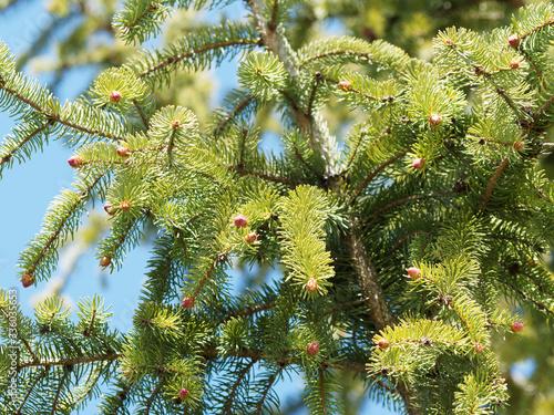 Picea abies | Epicéa commun ou sapin du Nord au feuillage à aiguilles vert foncé Wallpaper Mural