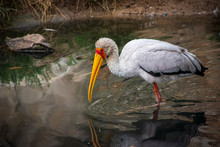 A Yellow-billed Stork (Mycteria Ibis) In Water