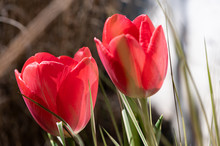 Two Red Tulip Against Blurred Background