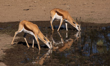 Two Springbok Drinking At A Wa...