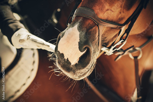 Fototapeta A rider in a white glove gently touches the muzzle of his favorite racehorse in the sunlight. Mutual understanding and teamwork. obraz