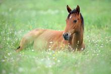 Cute Little Horse Is Lying On ...