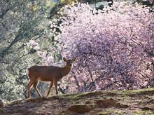 Cute Japanese Shika (deer) Wit...