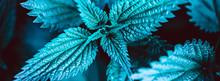 Green Nettle Plant Botanical N...