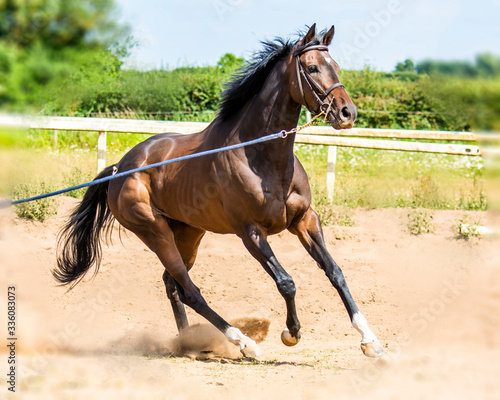 Fotografia, Obraz Thoroughbred racehorse