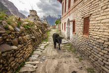 A Black Dzo On A Narrow Lane Between Old, Traditional Wood And Stone Houses And An Ancient Buddhist Prayer Wall With The Backdrop Of Dramatic Himalayan Mountains In The Village Of Tukuche In Nepal.