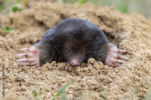 Tela The European mole (Talpa europaea) is a mammal of the order Eulipotyphla