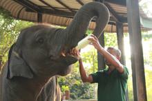 A Zoo Staff Feeding An Elephant In The National Zoo Park Udawalawe, Sri Lanka 2018