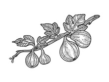 Common Fig Plant Tree Sketch Engraving Vector Illustration. T-shirt Apparel Print Design. Scratch Board Imitation. Black And White Hand Drawn Image.