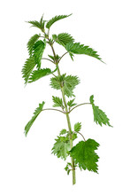 Stinking Nettle Urtica Dioica All Plant , On White Background.