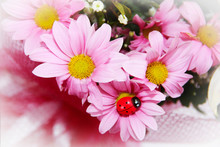 Ladybug Insect, Pink Chrysanthemum Flowers And Green Leaves