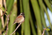 Small Cape Sparrow Perched On A Branch In A Garden