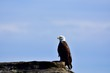 bald eagle on a rock