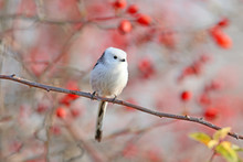 Long-tailed Tit Or Long-tailed Bushtit (Aegithalos Caudatus) Sits On A Branch Of Wild Rose Bush Against A Background Of Red Berries And Sky
