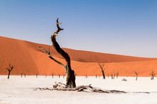 Dead Camelthorn Tree Against Orange Dunes And Blue Sky In Deadvlei Dry Pan, Sossusvlei. Namib Naukluft National Park, Namibia, Africa