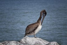 Closeup Shot Of A Florida Brown Pelican Standing On A Rock By The Gulf Of Mexico