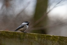 Closeup Shot Of A Black-capped Chickadee Perched On Wood With A Blurred Background