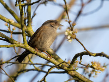 A Dunnock (Prunella Modularis) In The Beddington Farmlands Nature Reserve, Sutton, London.