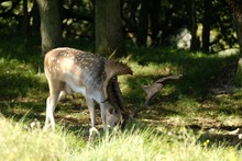 Beautiful Shot Of A White-tailed Deer Eating Grass In The Forest Under The Sunlight