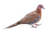Laughing Dove Looking Into The Camera Cut Out On White Background.