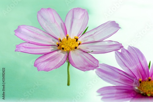 Closeup shot of two flowers called Garden Cosmos floating over the water