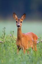Adorable Roe Deer, Capreolus C...