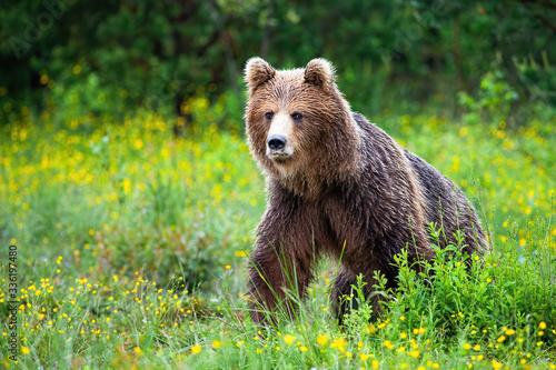 Carta da parati Dangerous brown bear, ursus arctos, approaching while protecting territory in nature