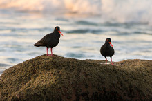 African Black Oystercatcher Pair On Rocks, South Africa