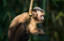 Capuchin Monkey  On Ray Of Lig...