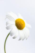 Daisy On A Plain Background