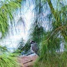 Black Crowned Night Heron In Hiding
