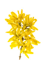 Spring Blossoming Yellow Forsythia Flower Isolated White Background