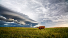 Cows In A Field With Storm Clo...