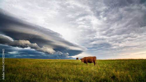 Fotografía Cows in a field with storm clouds in the background