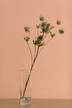 Dried Blue Thistle In Glass Vase